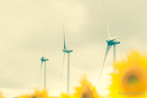 風力発電と向日葵
